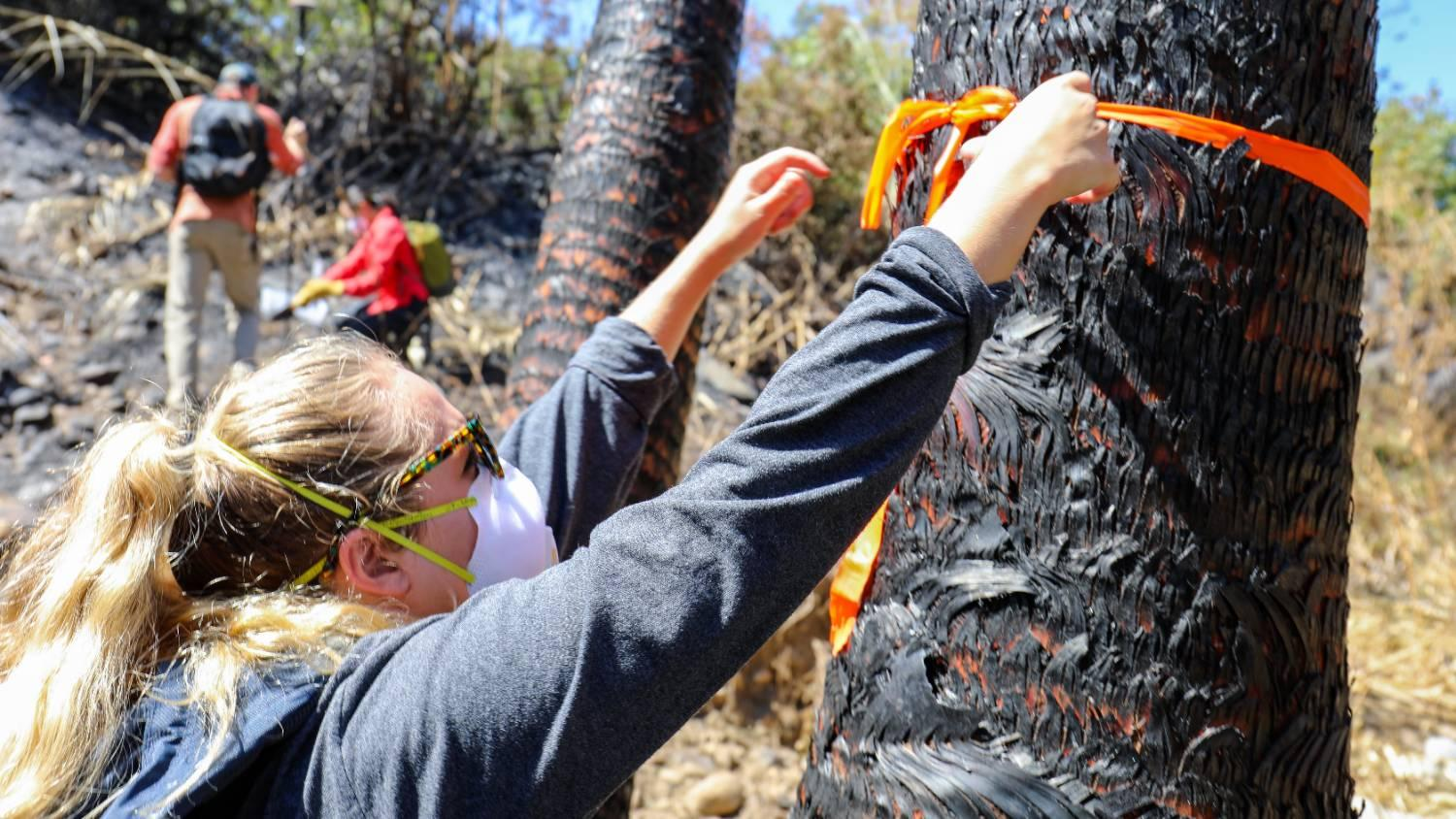 Student checking burnt tree,
